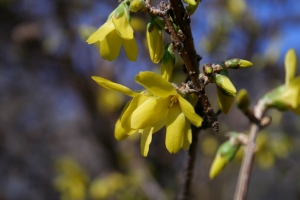 Central Park Forsythia